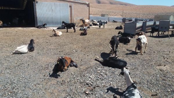 geitenboerderij Ajuy